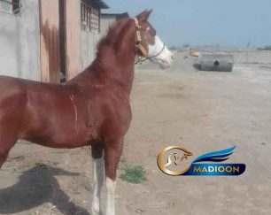 خرید اسب و فروش اسب_ اسب ترکمن- عرب