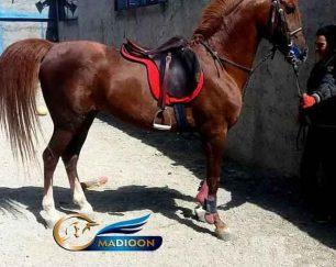خرید اسب و فروش اسب_نریان عرب خالص