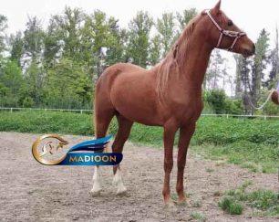 خرید اسب و فروش اسب_ اسب ترکمن نژاد یموت