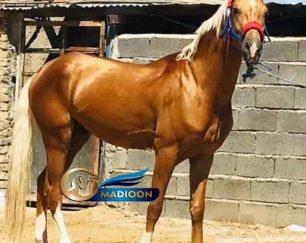 خرید اسب و فروش اسب_ سیلمی آراد خان