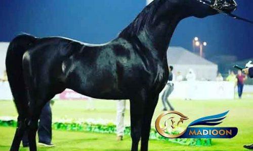خرید اسب و فروش اسب_اسب عرب