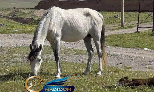 مادیون خرید اسب و فروش اسب_ مادیون کرد