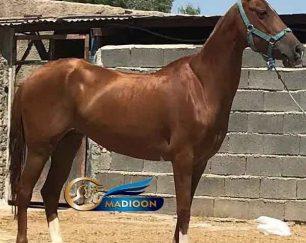 خرید اسب و فروش اسب_ ترجین کتول