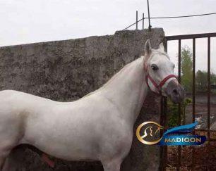 خرید اسب و فروش اسب_آیهان