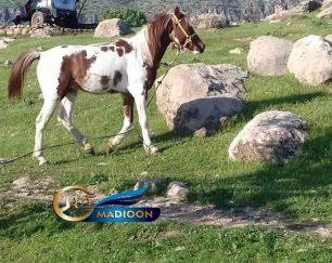 خرید اسب و فروش اسب_ نریان دوساله