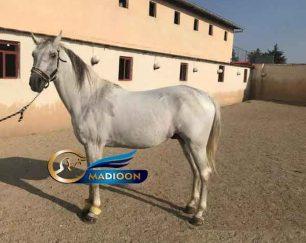 خرید اسب و فروش اسب_سیلمی پرخون ترکمن