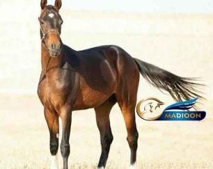 خرید اسب و فروش اسب_ خان فیروز