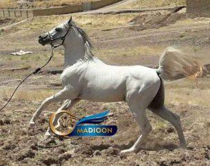 خرید اسب و فروش اسب_اسب عرب یک سر مصری