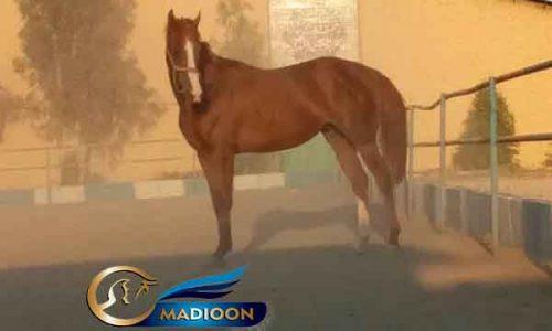 خرید اسب و فروش اسب_ نریان دوسر وارداتی