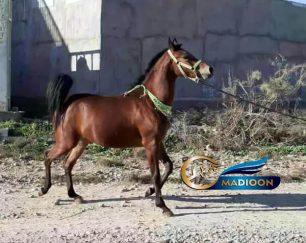 خرید اسب و فروش اسب_ مادیون زاده براری