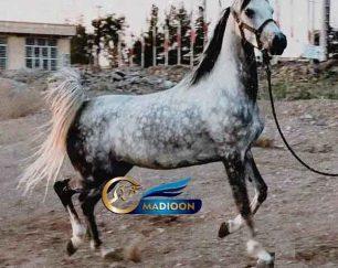 خرید اسب و فروش اسب_ مادیون عرب مصری