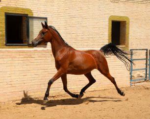 خرید اسب و فروش اسب_دوبی پاشا