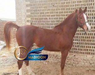خرید اسب و فروش اسب_ اسب عرب کورسی