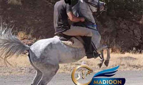خرید اسب و فروش اسب_ مادیون کرد