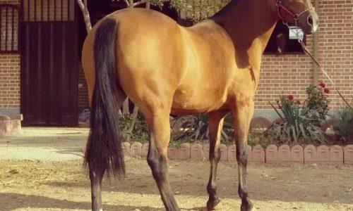 خرید اسب و فروش اسب_آیلر و کره اسب