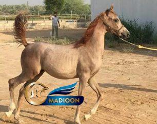 خرید اسب و فروش اسب_ کره عرب مصری