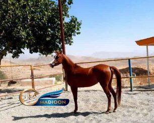 خرید اسب و فروش اسب_ نریان عرب مصری