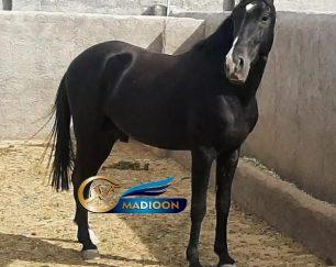 خرید اسب و فروش اسب_ نریان سیاه