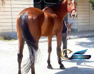 خرید اسب و فروش اسب_ نریان تروبرد