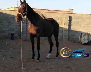 خرید اسب و فروش اسب_مادیون دوخون تروبرد