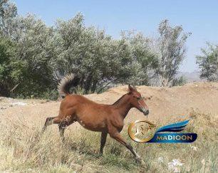 خرید اسب و فروش اسب_ کره اسب اصلان