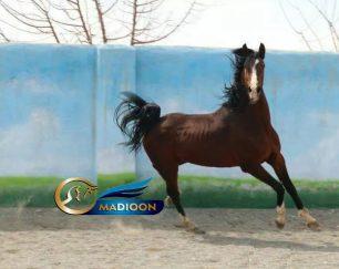 خرید اسب و فروش اسب_سیلمی دره شوری