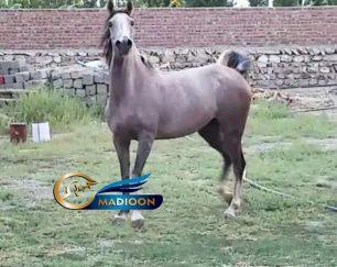 خرید اسب و فروش اسب_مادیون عرب 5 ساله
