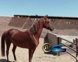خرید اسب و فروش اسب_ نازبانو