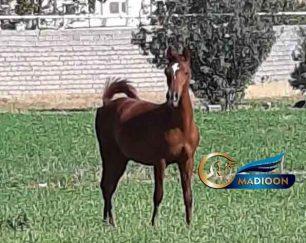 خرید اسب و فروش اسب_کره اسب نریان کرد