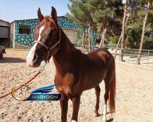 خرید اسب و فروش اسب_اسب عرب اصیل ایرانی