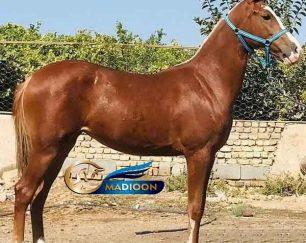 خرید اسب و فروش اسب_مادیون ترکمن