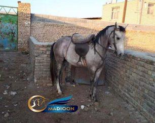 خرید اسب و فروش اسب_نریان عرب کرد