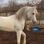 خرید اسب و فروش اسب_ اسب عرب