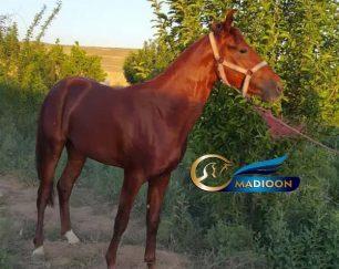 خرید اسب و فروش اسب_ نریان اصیل ترکمن