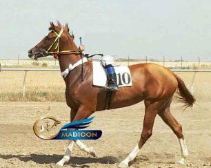 خرید اسب و فروش اسب_مادیون کورسی مینوسا