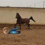 خرید اسب و فروش اسب_اسب عرب ایرانی