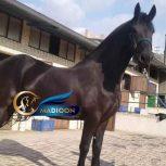 خرید اسب و فروش اسب_ مادیون فریزین