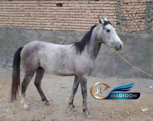 خرید اسب و فروش اسب_اسب نژاد کرد
