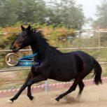 خرید و فروش اسب- مادیون آبستن تروبرد