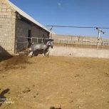 خرید اسب و فروش اسب_اسب دره شوری اراز