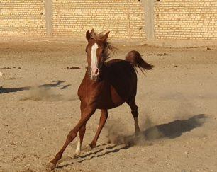 خرید اشب و فروش اسب- پادنا