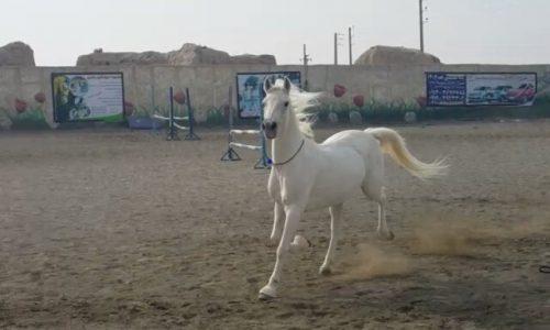 خرید اسب و فروش اسب_کژال