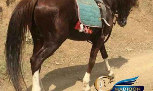 خرید اسب و فروش اسب_نریان عرب