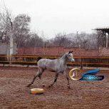 خرید اسب و فروش اسب_ اسب عرب دوسر وارداتی