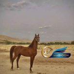 خرید اسب و فروش اسب_کره مروان الشقب