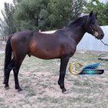 خرید اسب و فروش اسب_ نریان دوخون 5 ساله