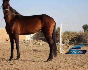 خرید اسب و فروش اسب_کره اسب شاه