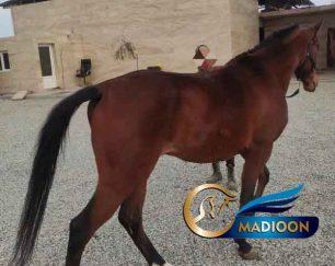 خرید اسب و فروش اسب_ ترکمن اصیل