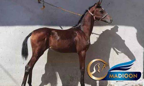 خرید اسب و فروش اسب_کره اسب عرب یه سر وارداتی