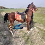 خرید اسب و فروش اسب_ اسب کورسی نریان